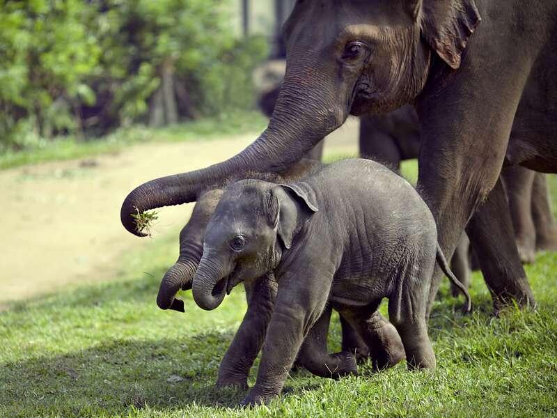 Unmöglich, nicht entzückt zu sein: Zwei Babyelefanten mit ihrer Mutter in Sri Lanka. Auf unserer Rundreise sehen wir zahlreiche Elefanten. Die Dickhäuter fühlen sich auf der wasserreichen Insel im Indischen Ozean wohl.
