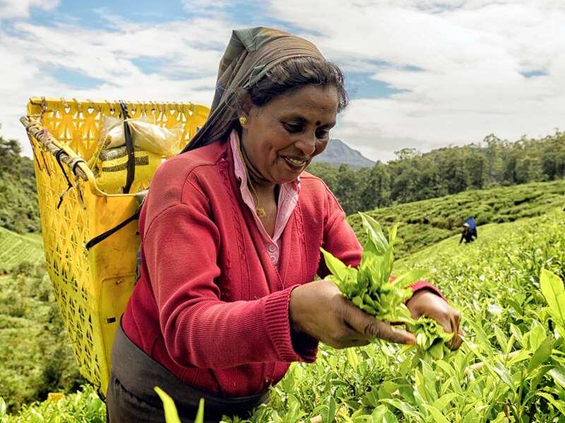 Teeanbau, ein wichtiger Wirtschaftszweig in Sri Lanka. Auf der Rundreise durch Sri Lanka in kleiner Gruppe sehen Sie üppig grüne Landschaften und faszinierende Kulturschätze.