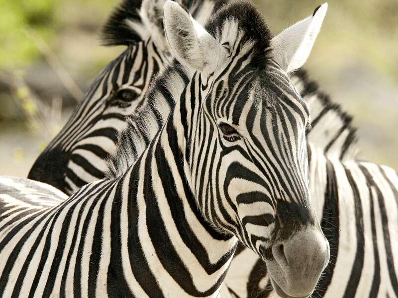Im Krüger-Nationalpark sind wir dabei, wenn die Savanne erwacht, und suchen in offenen Geländewagen nach den Big Five. Ein Highlight unserer Rundreise durch Südafrika.