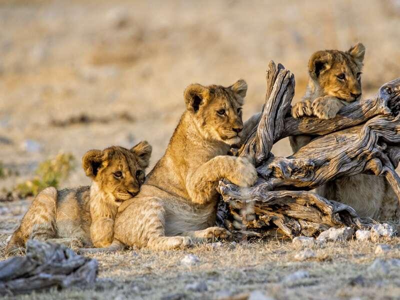 Der Etoscha-Nationalpark ist das bedeutendste Schutzgebiet Namibias. Also: Halten Sie auf Ihrer Rundreise die Kamera bereit!