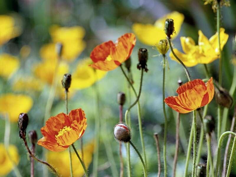 Die bunte Blütenpracht in den Palheiro Gardens bei Funchal begeistert Gartenfreunde auf unserer Reise nach Madeira.