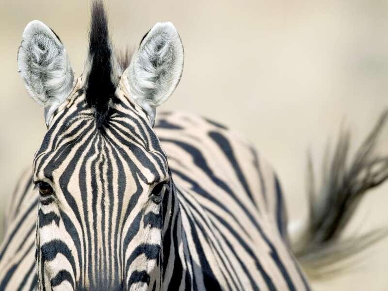 Auf unserer Rundreise durch Namibia verbringen wir einen ganzen Tag im Etoscha-Nationalpak und kommen in der Wildnis vielen Tieren ganz nahe, darunter auch Zebras.