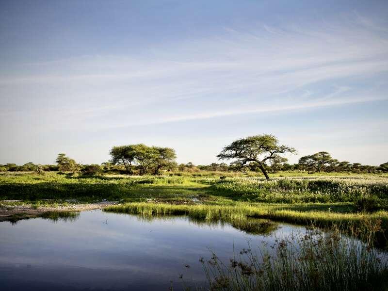 Auf unserem Ausflug in den Etoschapark während unserer Rundreise durch Namibiai sehen wir die typischen Schirmakazien in der Ebene.