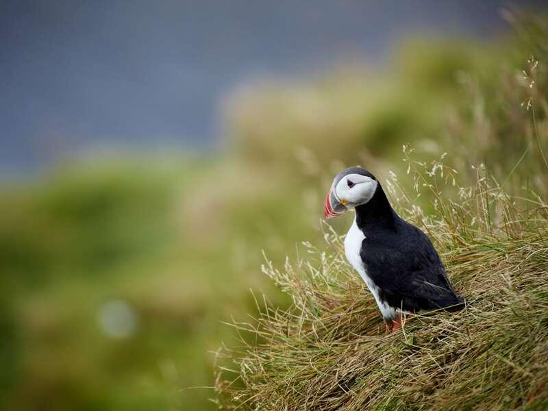 Die Pagateitaucher, auch Puffins genannt, gehören einfach zu Island. Am Kap Dyrholaey haben Sie gute Chancen auf dieser smart&small Reise die Vögel zu beobachten.