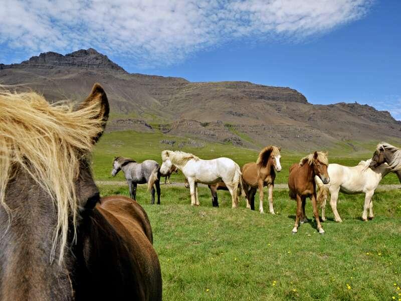 Islandpferde begegnen uns immer wieder auf unserer Rundreise durch Island. Von Juli bis Oktober lassen die Pferdezüchter ihre Tiere in den Bergen der Insel frei  laufen.