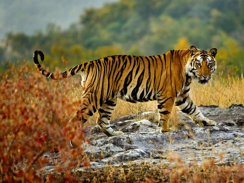 Auf unserer Studienreise Rajasthan mit Flair gehen wir in Geländefahrzeugen auf Safari. Bei unserer Fotopirsch werden wir auf Gazellen, Antilopen, Sambarhirsche sowie unzählige Vogelarten treffen. Und: Der Ranthambore ist das Top-Tigerreservat Rajasthans!