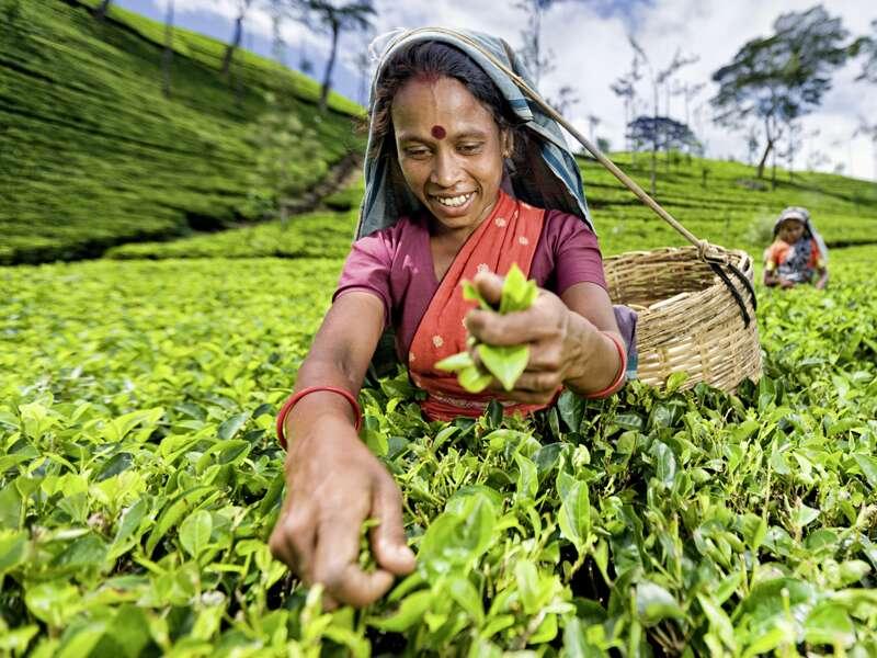 Auf unserer Studienreise Sri Lanka - Höhepunkte besuchen wir im Hochland eine Teeplantage. Die besten Teequalitäten werden von Hand gepflückt, die weniger guten mit Scheren geschnitten. Tee ist Sri Lankas Exportprodukt Nummer eins.