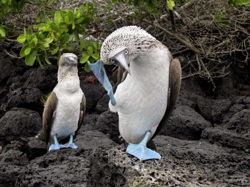 Die Flora und Fauna, die wir bei unserer Studienreise auf den Galápagosinseln sehen, ist beeindruckend. Auch die Nistplätze von Blaufußtölpeln entdecken wir.