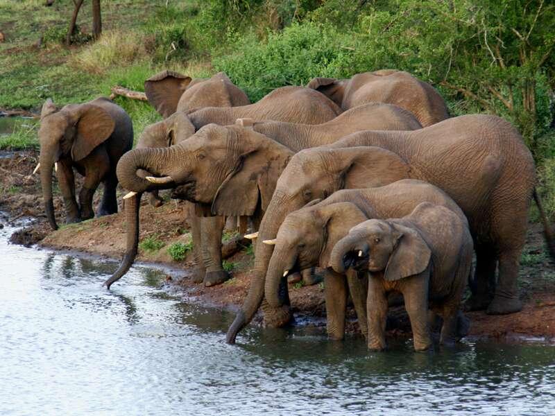 Auf unserer Safari im Krügerpark begegnen wir sicher auch den größten Vertretern der Big Five, den Elefanten.