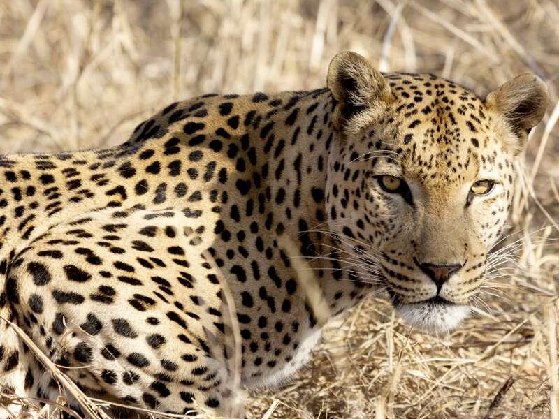 Auf unserer Preiswert-Studienreise Südafrika - Höhepunkte lernen Sie die spektakuläre Tierwelt des Landes kennen. Doch keine Angst, dieser Leopard im Krüger-Nationalpark liegt nicht wegen Ihnen auf der Lauer!