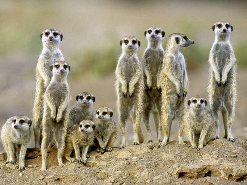 Bei unserer Natur-Studienreise Namibia-Botswana - Wunder der Natur gehen wir ausgiebig auf Safari - Erdmännchen, Augen auf!