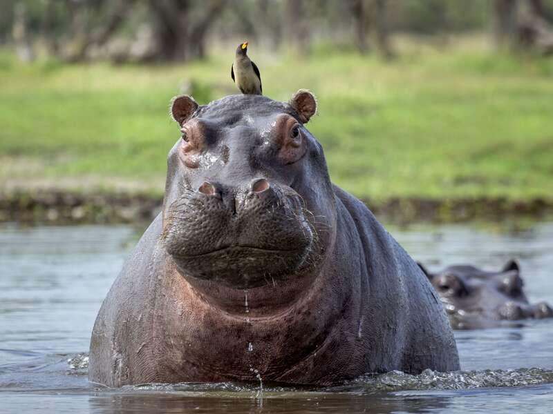 Das Okavangodelta in Botswana ist ein Paradies für Flusspferde. Sie kommen auf unserer Expeditions-Studienreise gelegenlich bis an unser Zeltcamp!
