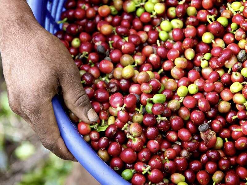 Auf unserer Rundreise durch Costa Rica sehen wir Kaffeebohnen für den vielleicht besten Kaffee der Welt.