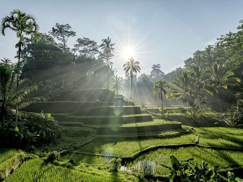 Auf unserer Studienreise nach Indoniesien entdecken wir auf Bali sattgrüne Reisfelder.