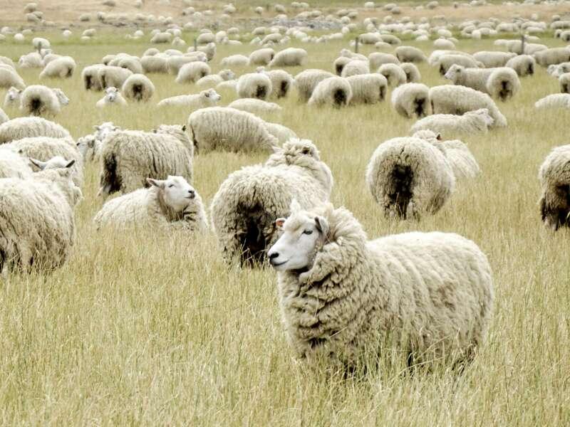 Auf unserer Studienreise durch Neuseeland besuchen wir eine Schaffarm und unterhalten uns mit der Schäferin Charlotte.