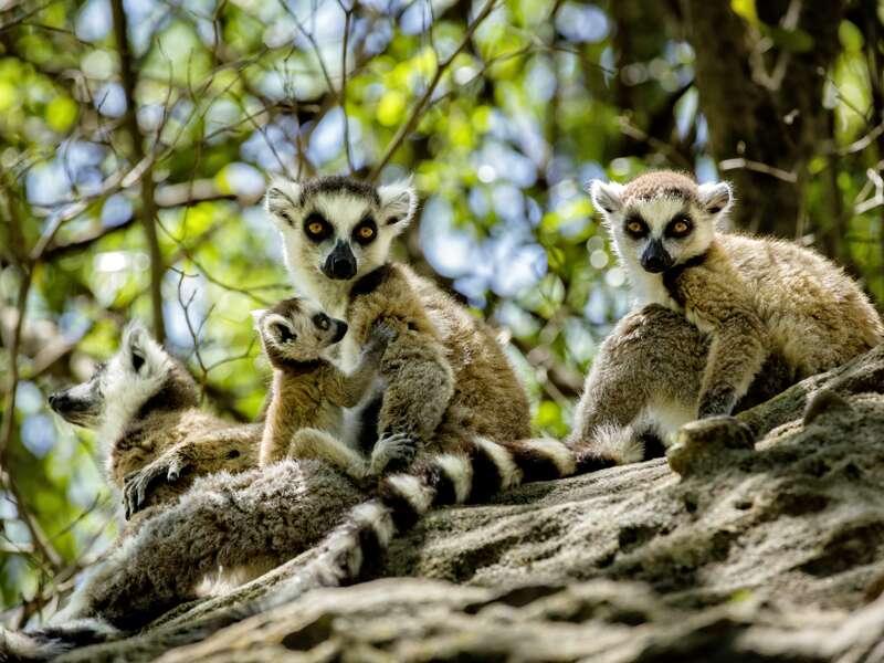 Unsere Natur-Studienreise nach Madagaskar führt in einige der schönsten Nationalparks. Im 850 qkm großen Isalo-Schutzgebiet haben Sie die Möglichkeit, Lemuren aus der Nähe zu beobachten.