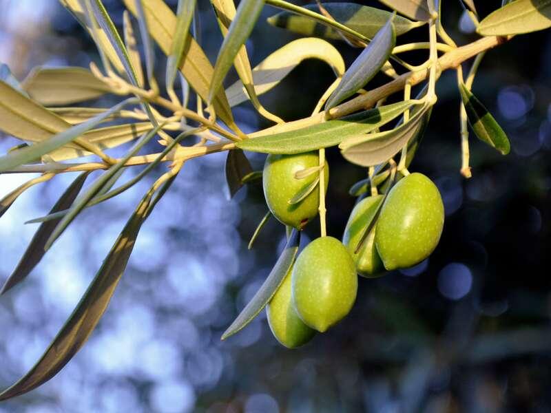 Olivenbäume sind ständige Begleiter während unserer Reise durch Griechenland.