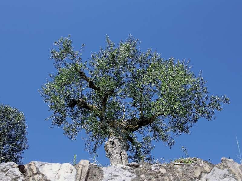 Ständiger Begeleiter bei unserer Studienreise durch Griechenland: Olivenbäume