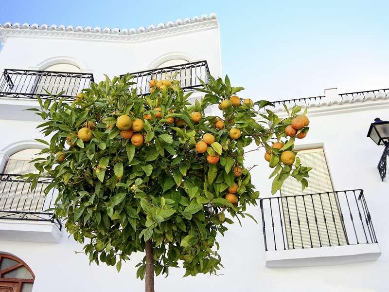 Der Duft der Orangenbäume begleitet uns auf unserer Studiosus-Reise durch Andalusien, bei der Erkundung der weißen Dörfer und historischen Städte.
