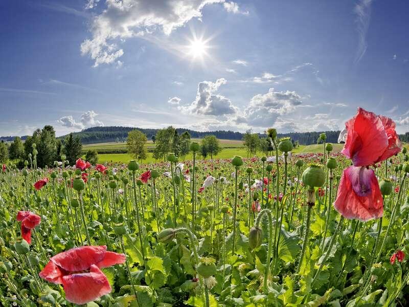 Auf dieser Studienreise durch das Salzkammergut und die Steiermark gibt es manch Spektakuläres und manch Idyllisches zu entdecken, zum Beispiel ein Mohnblumenfeld.